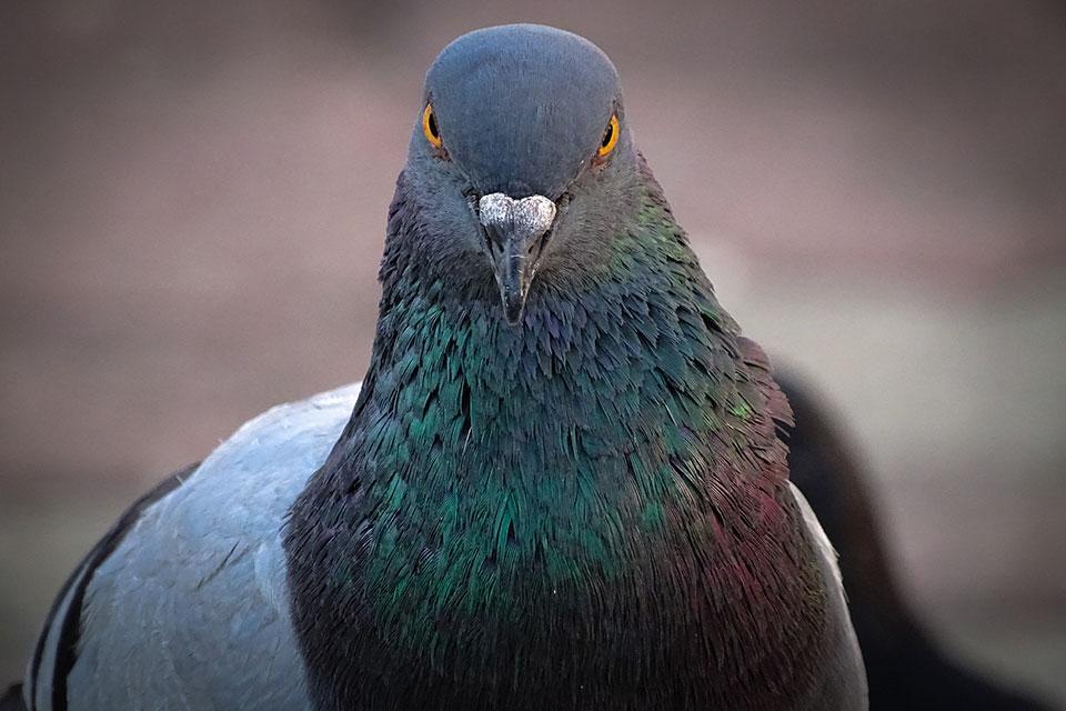 sassy-pigeon